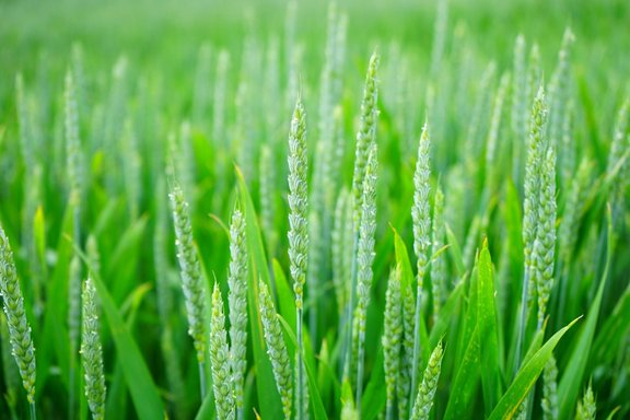 SwiftDetect and spray timings for Septoria in wheat