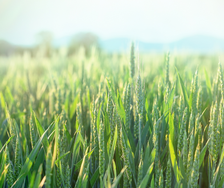 Early warning: the key to controlling Septoria