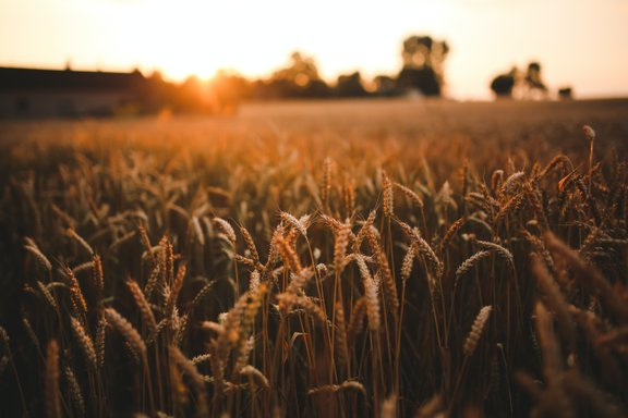 Chlorothalonil's loss is Septoria's gain: the loss of UK wheat growers' favourite fungicide